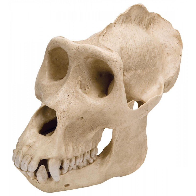 vp762-1_gorilla-skull-male-model_1.jpg